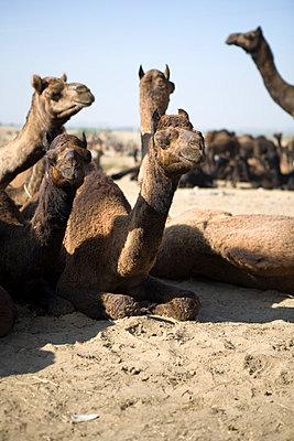Animal Market in Rajasthan VI - p817m787945 by Daniel K Schweitzer