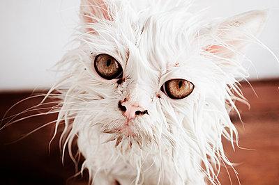 Wet cat - p1695m2290858 by Dusica Paripovic