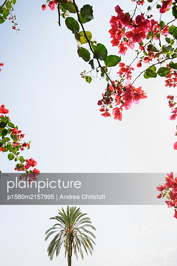 Bougainvillea mit Palme - p1580m2157995 von Andrea Christofi
