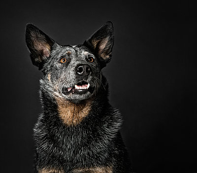 Australian Cattle Dog - p1042m902317 by Cardinale