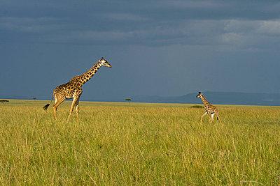 Giraffe - p5330144 by Böhm Monika
