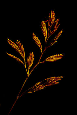 Annual meadow grass from Iceland (Poa annua) - p1028m2164174 by Jean Marmeisse