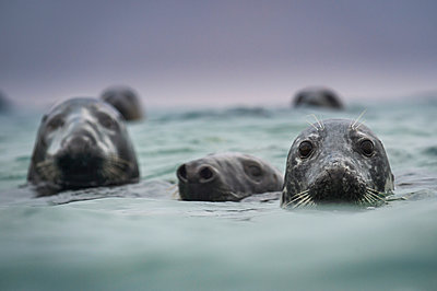 Group of grey seals (Halichoerus grypus), head above water, Great Blasket Island, Dingle, Kerry, Ireland - p429m2019788 by George Karbus Photography