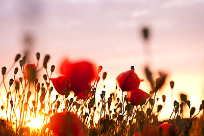 Poppies at sundown - p533m1182310 by Böhm Monika