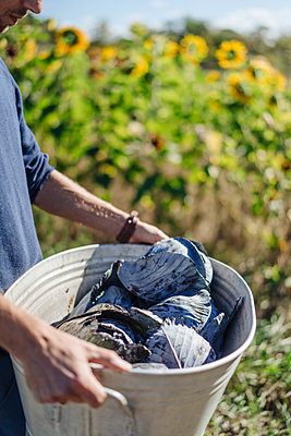 Kohlernte im Gemüsegarten - p586m1214292 von Kniel Synnatzschke
