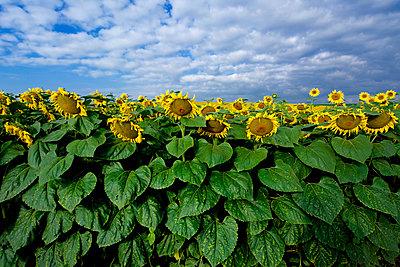 Sunflowers field - p813m925740 by B.Jaubert