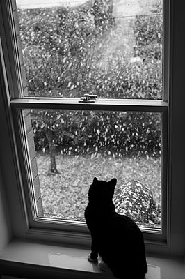 Silhouetted black cat with white paws sat in a window looking out onto a heavy snowfall. - p1433m2013593 by Wolf Kettler