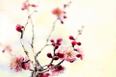 Plum blossoms - p307m962283f by Tetsuya Tanooka