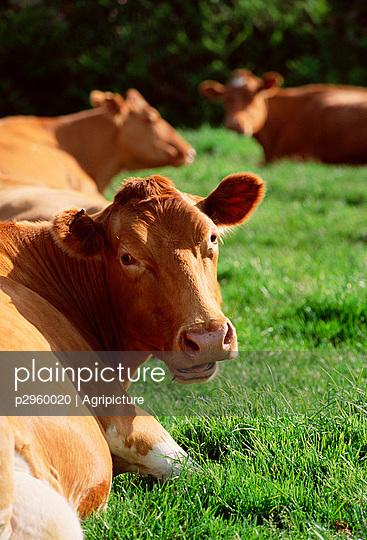Kühe - p2960020 von Agripicture