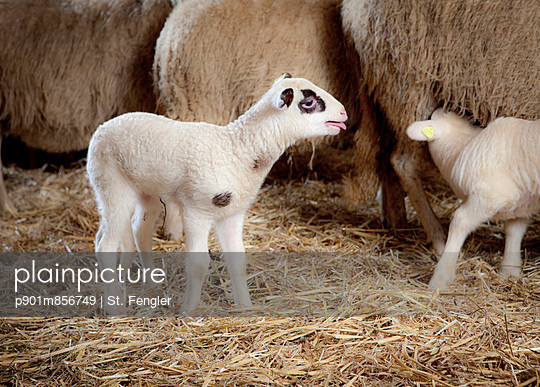 Young lambs - p901m856749 by St. Fengler