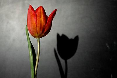 Red tulip - p1228m1109092 by Benjamin Harte