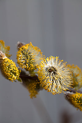 Pussy Willow Close up - p1470m1559004 by julie davenport
