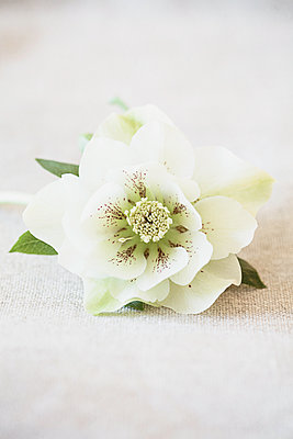 Cream hellebore - p1470m1559130 by julie davenport