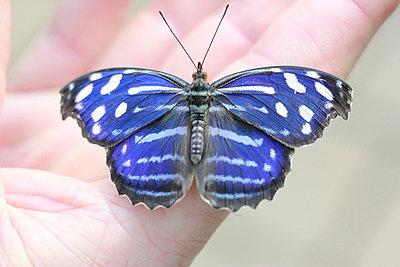 Blauer Schmetterling - p4500589 von Hanka Steidle