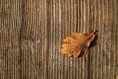 Oak leaf - p867m1082466 by Thomas Degen