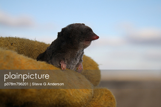 Glove with vole - p378m796201 by Steve G Anderson