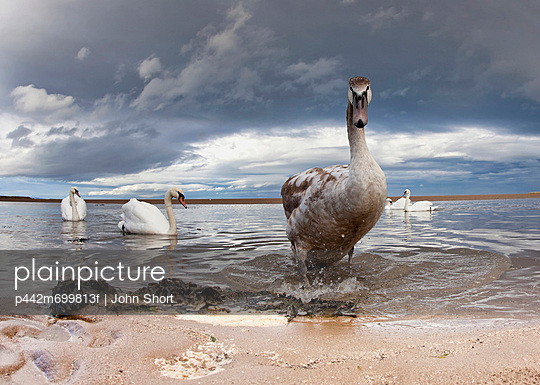 A Duck And Swans In The Shallow Water Along The Coast; Northumberland England - p442m699813f by John Short