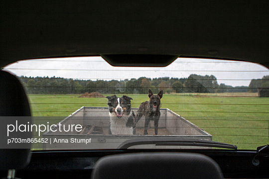 Dogs in the trailer - p703m865452 by Anna Stumpf