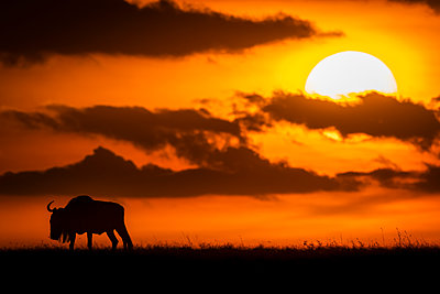 A blue wildebeest (Connochaetes taurinus) is silhouetted against the sky at sunset, Maasai Mara National Reserve; Kenya - p442m2037143 by Nick Dale