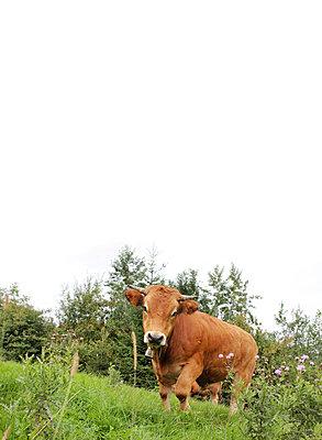 Kuh auf der Weide - p450m1040553 von Hanka Steidle