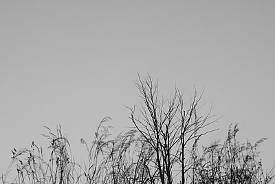 Silhouette of Tall Grasses and Tree Branches Against Sky - p694m844320 by Julio Calvo