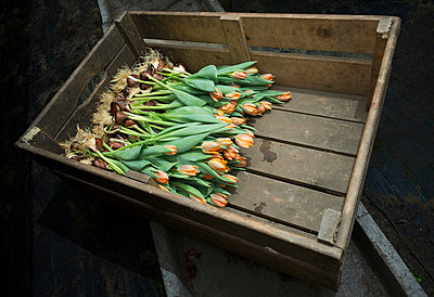Pink tulips in wooden crate - p429m801682 by Mischa Keijser