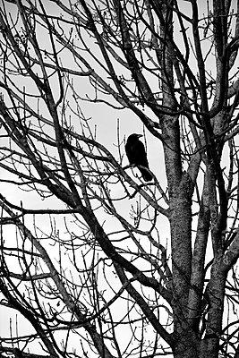 Krähe im Baum - p876m880228 von ganguin