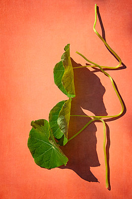 Three edible nasturtium leaves attached to stems on light salmon pink orange background - p1047m2133412 by Sally Mundy