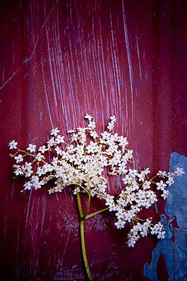 Elderflower - p533m1055325 by Böhm Monika