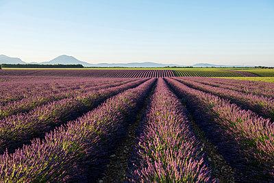 Lavendelfeld, bei Valensole, Plateau de Valensole, Alpes-de-Haute-Provence, Provence, Frankreich - p1316m1161026 von Daniel Schoenen