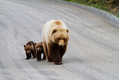 Grizzly bears  walking on the Park Road, twin cubs did not venture far from their mother's protection, Denali National Park and Preserve, South-central Alaska; Alaska, United States of America - p442m1191401 by Doug Lindstrand