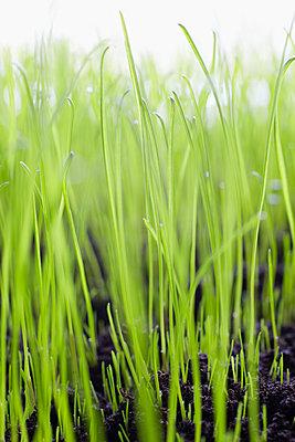 Blade of grass - p464m1048087 by Elektrons 08