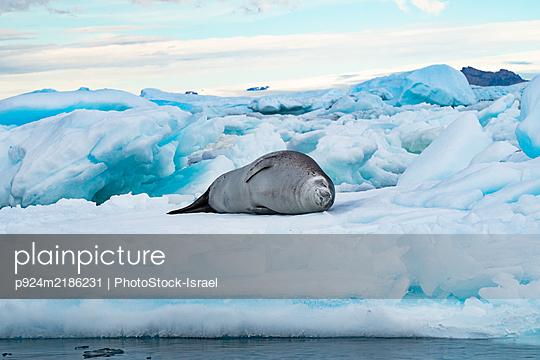 Crabeater Seal (Lobodon carcinophaga) lying on an iceberg in Antarctica. - p924m2186231 by PhotoStock-Israel