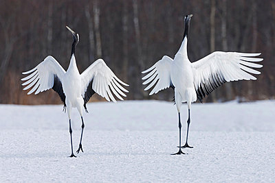 Japanese cranes upright, spreading their wings and preening on a frozen lake in Hokkaido, Japan - p1100m875532 by Art Wolfe