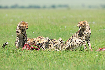 Three cheetahs - p533m1120362 by Böhm Monika