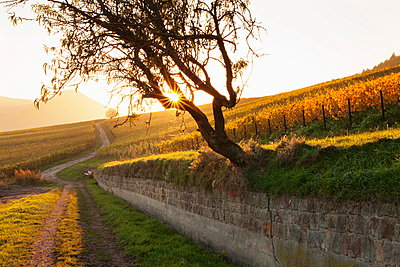 Path through vineyards in autumn at sunset, Burrweiler, German Wine Route, Pfalz, Rhineland-Palatinate, Germany, Europe - p871m895273 by Marcus Lange