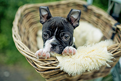 Germany, Rhineland-Palatinate, Boston Terrier, Puppy lying in a dog basket - p300m950028f by Nailia Schwarz