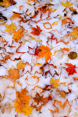 Snow Dusting On Yellow And Red Maple Leaves - p343m1218029 by Johnathan Ampersand Esper