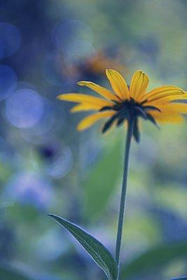 Gelbe Sommerblume - p879m2133675 von nico