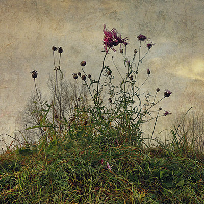 Centaurea - p1633m2208961 by Bernd Webler