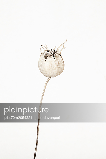 Close up of Nigella seed head - p1470m2054321 by julie davenport