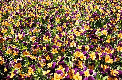Field of flowers - p0451218 by Jasmin Sander