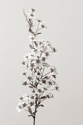 Spring flower - p815m2178015 by Erdmenger