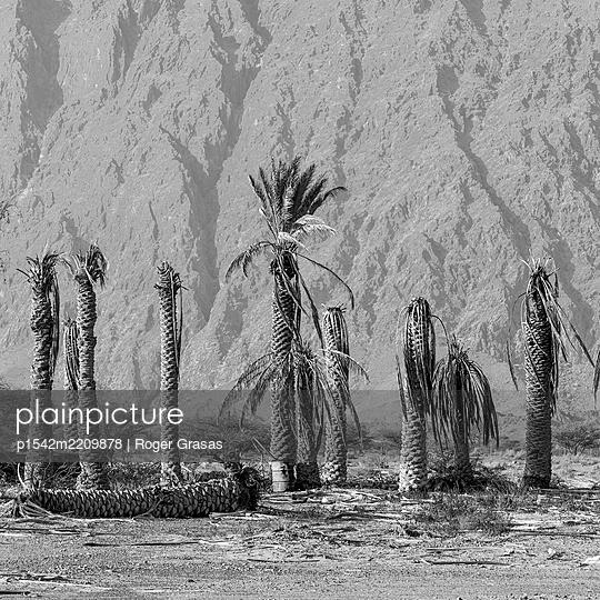 Dead palm trees  - p1542m2209878 by Roger Grasas