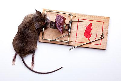 Tote Maus in Mausefalle  - p1501m2093284 von Alexander Sommer