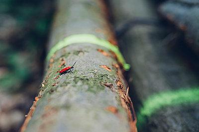 Germany, Saxony, Cardinal beetle Pyrochroa Coccinea on log - p300m1101168f by Jana Mänz