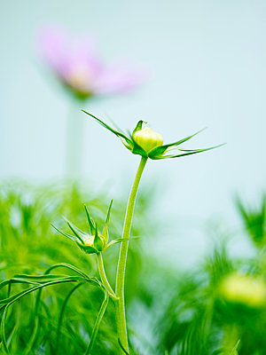 Close up of green flower bud in garden - p429m1126205f by Jakob Valling