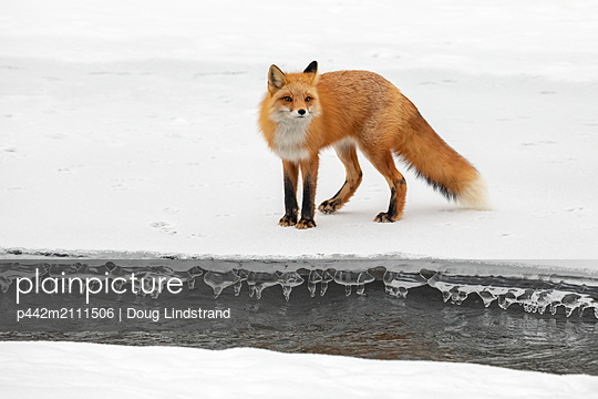 Red fox (Vulpes vulpes) standing on snow in the Campbell Creek area in winter looking for rodents and other food, South-central Alaska; Anchorage, Alaska, United States of America - p442m2111506 by Doug Lindstrand