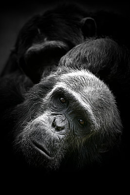 Kenya, portrait of Common chimpanzee - p300m1120476f by David Santiago Garcia