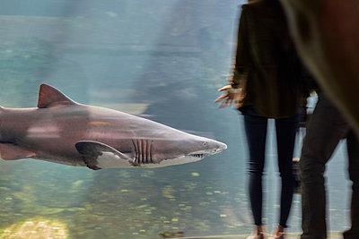 Shark in an aquarium - p250m2259036 by Christian Diehl